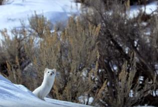 Απολαυστικό βίντεο με πανέξυπνη νυφίτσα να κυνηγάει ένα λαγό στα χιόνια!  - Κυρίως Φωτογραφία - Gallery - Video
