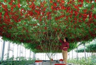 """Ντοματιά γίγας: 10.000 ντομάτες παράγει ένα μόνο """"δέντρο"""" (φώτο-βίντεο) - Κυρίως Φωτογραφία - Gallery - Video"""