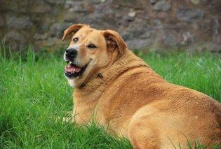 Υπέρβαρος σκύλος; Yπέρβαρο αφεντικό! - Δείτε τι λέει έρευνα  - Κυρίως Φωτογραφία - Gallery - Video