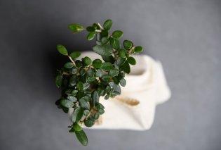 Made in Greece το μπονσάι-ελαιόδεντρο Plantbox: Η start up του Βασίλη Τσιπά που ταξιδεύει σε όλο τον κόσμο - Κυρίως Φωτογραφία - Gallery - Video