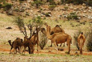 Αποκάλυψη τώρα! - Ένα δισεκατομμύριο  νεκρά ζώα στην Αυστραλία - Θανατώνουν τις καμήλες γιατί πίνουν πολύ νερό (φώτο-βίντεο) - Κυρίως Φωτογραφία - Gallery - Video