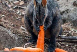 Αυστραλία: Ρίχνουν καρότα & πατάτες στα ζώα που λιμοκτονούν: Στο ναδίρ η δημοτικότητα του πρωθυπουργού - Κυρίως Φωτογραφία - Gallery - Video