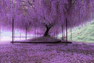 ΦΩΤΟΓΡΑΦΙΑ ΗΜΕΡΑΣ: Ένα υπέροχο μωβ δέντρο! - Κυρίως Φωτογραφία - Gallery - Video
