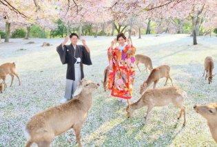 Σαν παραμύθι! Ανθισμένες κερασιές & ελεύθερα ελάφια σε πάρκα της Ιαπωνίας (Φωτό)  - Κυρίως Φωτογραφία - Gallery - Video