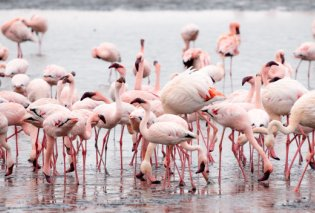 Το ατελείωτο καλοκαίρι των ροζ φλαμίνγκο στην Χαλκιδική: Καρέ – καρέ το πέταγμα τους από τον σκηνοθέτη Γιώργο Παπαδόπουλο (βίντεο) - Κυρίως Φωτογραφία - Gallery - Video