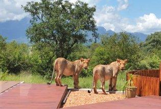 Βίντεο: Δείτε τη στιγμή που ένα ζευγάρι ανοίγει την πόρτα του σπιτιού & 6 τεράστια λιοντάρια λιάζονται στην βεράντα - Γκρρρ!  - Κυρίως Φωτογραφία - Gallery - Video