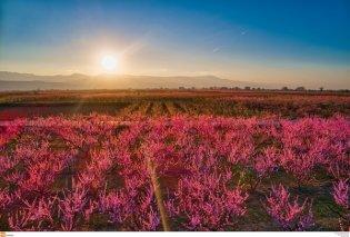 Οι θεαματικές ανθισμένες ροδακινιές της Ημαθίας ταξίδεψαν σε όλο τον κόσμο μέσα από το National Geographic (φωτό & βίντεο) - Κυρίως Φωτογραφία - Gallery - Video