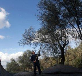 Μade In Greece: Το ατελείωτο δάσος ελιάς της Λέσβου: 11 εκ. ελαιόδεντρα- Βήμα, βήμα η παραγωγή! (Φωτό) - Κυρίως Φωτογραφία - Gallery - Video