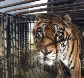 Tiger story: O Φοίβος ο Τίγρης που ζούσε στα Τρίκαλα, πέρασε μια μεγάλη περιπέτεια με happy end - θα συγκινηθείτε!  - Κυρίως Φωτογραφία - Gallery - Video