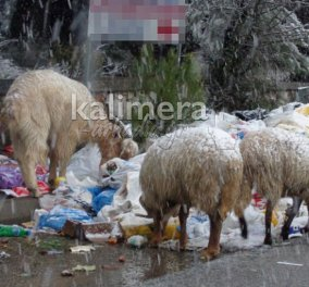 Έπνιξαν τα σκουπίδια την Τρίπολη - Σοκάρουν οι φωτό με ζώα να τρώνε σκουπίδια! - Κυρίως Φωτογραφία - Gallery - Video