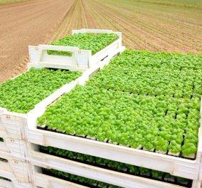 Βασιλικά κέρδη από... βασιλικό και δεντρολίβανο - καλλιέργειες με επιδοτήσεις & μεγάλα περιθώρια κέρδους! - Κυρίως Φωτογραφία - Gallery - Video