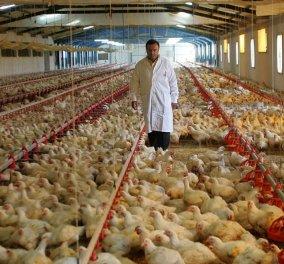 Μade In Greece τα κοτόπουλα Νιτσιάκος - Η ιστορία της επιτυχημένης οικογενειακής επιχείρησης από τα Γιάννενα στην Ολλανδία! - Κυρίως Φωτογραφία - Gallery - Video