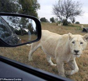 Λιοντάρι κατασπάραξε 22χρονη Αμερικανίδα τουρίστρια σε πάρκο του Γιοχάνεσμπουργκ - Κυρίως Φωτογραφία - Gallery - Video