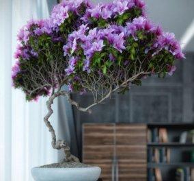 Μπονσάι: Τα φυτά - νάνοι που δίνουν την αίσθηση μικρογραφίας ηλικιωμένου δέντρου - Απολαύστε τα - Κυρίως Φωτογραφία - Gallery - Video