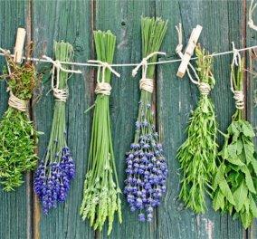 Καλό εισόδημα από δέκα άγνωστες καλλιέργειες: καλέντουλα, εχινάτσεα & σαμπούκος  - Κυρίως Φωτογραφία - Gallery - Video
