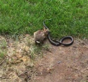 Μια κουνέλα επιτίθεται σε φίδι για να σώσει το σπιτικό της! Το viral της ημέρας - Κυρίως Φωτογραφία - Gallery - Video