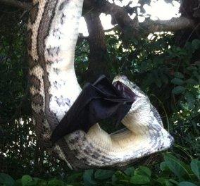 Βίντεο - Γιγαντιαίος πύθωνας καταβροχθίζει τεράστια νυχτερίδα  - Κυρίως Φωτογραφία - Gallery - Video
