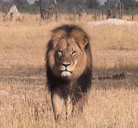 Διαβόητος κυνηγός άγριων ζώων - Αμερικανός οδοντίατρος είναι ο δολοφόνος του πιο διάσημου λιονταριού της Ζιμπάμπουε  - Κυρίως Φωτογραφία - Gallery - Video