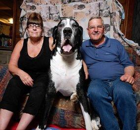 Ο υπέροχος τετράποδος γίγαντας των 95 κιλών: Ο σκύλος που θα σας καταπλήξει - Κυρίως Φωτογραφία - Gallery - Video