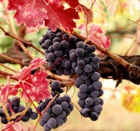 Σταφύλι: Το αγαπημένο φρούτο με A B C βιταμίνες & 12 από τα 16 απαραίτητα βασικά μεταλλικά στοιχεία   - Κυρίως Φωτογραφία - Gallery - Video