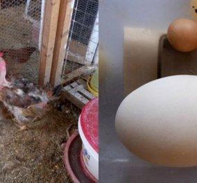 Σύρος: Οι κότες του Δημήτρη έκαναν αυγά για ρεκόρ Γκίνες - Δείτε ένα γίγαντα & ένα νάνο - Κυρίως Φωτογραφία - Gallery - Video
