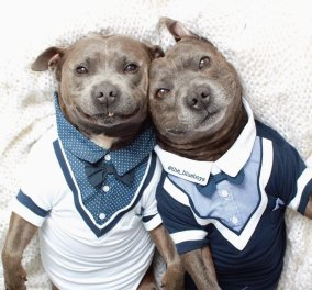 Αξιολάτρευτα χαριτωμένα αδελφάκια Pit Bull θα σας πουν καληνύχτα!  - Κυρίως Φωτογραφία - Gallery - Video