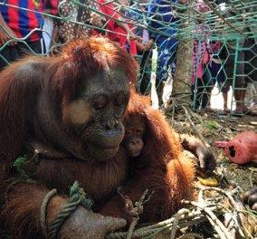 Μικρός ουρακοτάγκος αγκαλιάζει σφιχτά την ετοιμοθάνατη μητέρα του - Την έπνιξαν επειδή αναζητούσε τροφή - Κυρίως Φωτογραφία - Gallery - Video