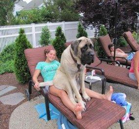 18 φωτογραφίες με σκυλιά που δεν έχουν συνειδητοποιήσει πόσο μεγάλα είναι - Γλυκύτατοι γίγαντες που θα σας ξετρελάνουν - Κυρίως Φωτογραφία - Gallery - Video