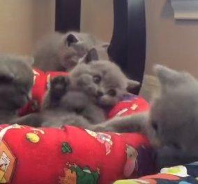 Δείτε το βίντεο: Απολαυστικά γατάκια παίζουν μεταξύ τους γεμάτα νάζι!   - Κυρίως Φωτογραφία - Gallery - Video