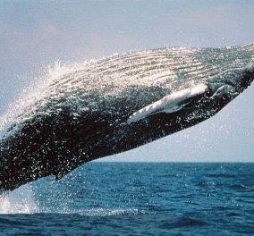 Άγιο είχαν 2 Βρετανοί: Φάλαινα 40 τόνων προσγειώθηκε στο κανό τους  - Κυρίως Φωτογραφία - Gallery - Video