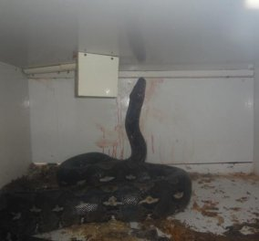 Horror Story: Πύθωνας 6 μέτρων & 56 κιλών επιτέθηκε & καταβρόχθισε τον ιδιοκτήτη pet shop - η μάχη για την διάσωση - Κυρίως Φωτογραφία - Gallery - Video