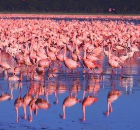 1.500.000 φλαμίνγκο συναντώνται στην Κένυα & δημιουργούν μια λίμνη... ροζ: Απίθανες εικόνες  - Κυρίως Φωτογραφία - Gallery - Video