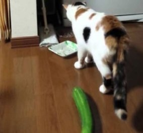 Βίντεο: Είναι το αγγούρι ο μεγαλύτερος φόβος της γάτας; Για να δούμε & να γελάσουμε - Κυρίως Φωτογραφία - Gallery - Video