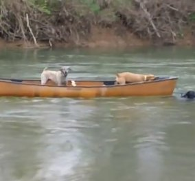 Βίντεο: Λαμπραντόρ - ήρωας σώζει παγιδευμένα σκυλιά βουτώντας στο παγωμένο ποτάμι - Κυρίως Φωτογραφία - Gallery - Video