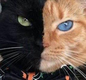 Μισή τίγρης, μισή πάνθηρας! Είναι η Αφροδίτη, μαύρη και πορτοκαλί γάτα που έριξε το ίντερνετ  - Κυρίως Φωτογραφία - Gallery - Video