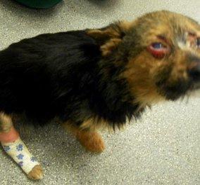 4 έφηβοι ξυλοκόπησαν και έβαλαν φωτιά σε σκύλο & τον πέταξαν στα σκουπίδια - ο Chunky επέζησε !!! - Κυρίως Φωτογραφία - Gallery - Video