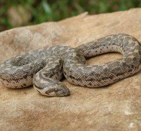 Βρέθηκε το τρομερό φίδι των Αρχαίων Ελλήνων που έστελναν στους εχθρούς - Ζει και στην Ελλάδα σήμερα - Κυρίως Φωτογραφία - Gallery - Video