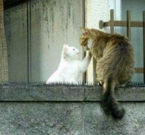 Ατρόμητος και... ερωτευμένος γάτος περπατάει σε καρφιά για να δει το ταίρι του - Κυρίως Φωτογραφία - Gallery - Video