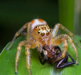 Απίθανο βίντεο σε New York Times: Αράχνη κανίβαλος καταβροχθίζει σύντροφο της...  - Κυρίως Φωτογραφία - Gallery - Video