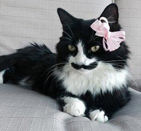 Μια γάτα αλλιώτικη: Μαυρομουστακαλού & κακομαθημένη γίνεται viral - Κυρίως Φωτογραφία - Gallery - Video