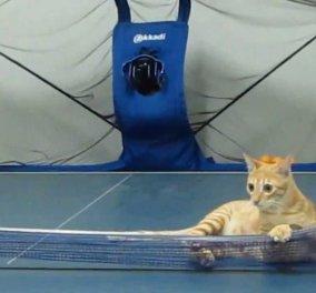 Ξεκαρδιστικό! Πανέξυπνες γάτες παίζουν σαν... κυρίες ping pong - Κυρίως Φωτογραφία - Gallery - Video