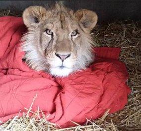 Pet story of the day: Ατρόμητο... αφρικανικό λιοντάρι δεν μπορεί να κοιμηθεί χωρίς κουβέρτα! - Κυρίως Φωτογραφία - Gallery - Video