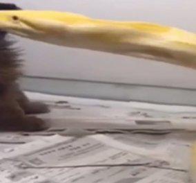 Το βίντεο που προκάλεσε θύελλα αντιδράσεων: Σαδιστής δίνει σε πύθωνα για γεύμα ένα κουταβάκι - Κυρίως Φωτογραφία - Gallery - Video