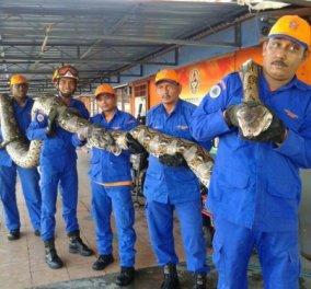 Πέθανε το μεγαλύτερο φίδι στον κόσμο: Ο γιγάντιος πύθωνας 7,5 μ. μεταφερόταν με 7 εργάτες   - Κυρίως Φωτογραφία - Gallery - Video