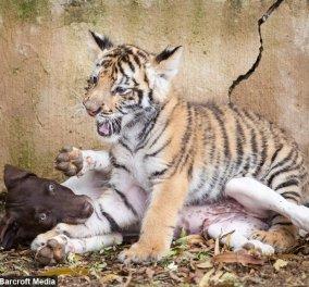 Τιγράκι - κουκλί: Το εγκατέλειψε η μαμά του & βρήκε στοργή σε ένα κουτάβι! Μια υπέροχη φιλία   - Κυρίως Φωτογραφία - Gallery - Video