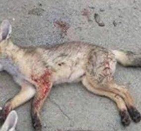 Εικόνες ντροπής: Κύπριος κυνηγός καμαρώνει επειδή σκότωσε 3 αλεπούδες   - Κυρίως Φωτογραφία - Gallery - Video