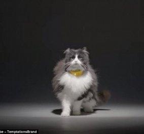 Απίθανη ανακάλυψη: Κολάρο κάνει την γάτα σας να ''μιλάει'' - Μετατρέπει το νιαούρισμα σε ανθρώπινη φωνή - Κυρίως Φωτογραφία - Gallery - Video
