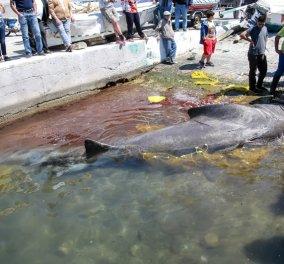 Λέσβος: Καρχαρίας 7,5 μέτρων & βάρους 2 τόνων πιάστηκε στα δίχτυα ψαρά (Φωτό)  - Κυρίως Φωτογραφία - Gallery - Video