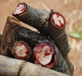 Βίντεο: Δέντρο στη Νότιο Αφρική ''ματώνει'' κάθε φορά που το κόβουν - Δείτε το - Κυρίως Φωτογραφία - Gallery - Video