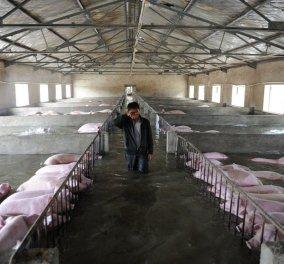Υπάρχει δέσιμο με τα γουρούνια; Ναι! Ο συγκινητικός αποχαιρετισμός δύο αγροτών στα γουρούνια τους   - Κυρίως Φωτογραφία - Gallery - Video